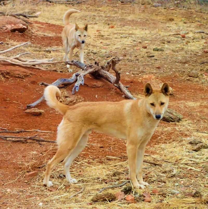 Dingoes on the Larapinta Trail
