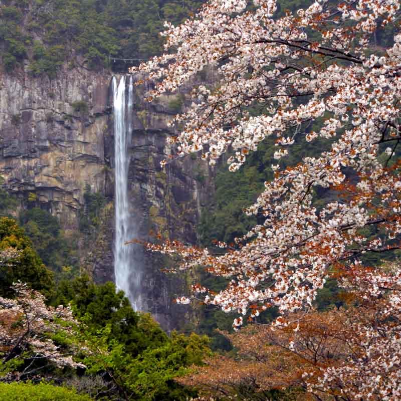 Nachi falls and cherry blossoms on the Kumano Kodo